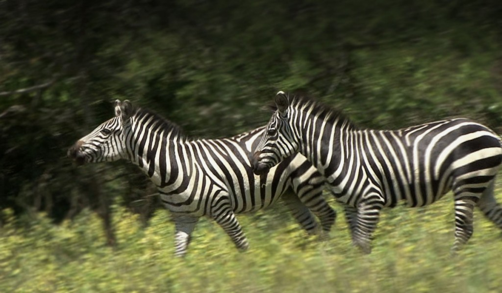 Zebras in Akagera National Park